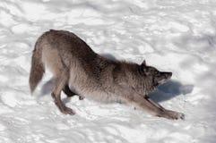 在雪的黑狐狸 免版税库存图片