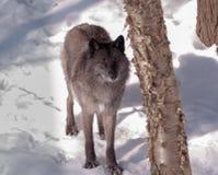 在雪的黑狐狸 库存照片
