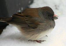 在雪的黑眼睛的碛鸟 免版税图库摄影