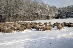 在雪的绵羊 图库摄影