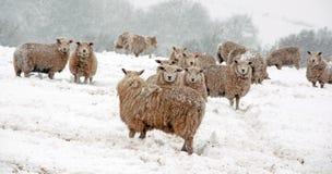 在雪的绵羊 库存图片