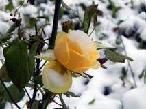 在雪的黄色玫瑰 库存照片