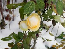 在雪的黄色玫瑰 库存图片
