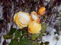 在雪的黄色玫瑰 图库摄影
