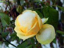 在雪的黄色玫瑰 免版税图库摄影
