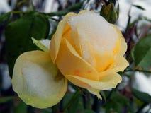 在雪的黄色玫瑰 免版税库存照片