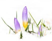 在雪的紫色番红花花 库存照片