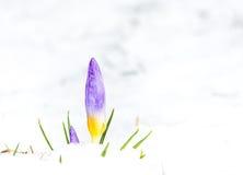 在雪的紫色番红花花 免版税库存图片