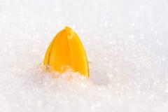 在雪的黄色番红花花 免版税库存图片