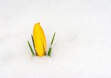 在雪的黄色番红花花 免版税图库摄影