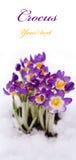 在雪的紫色番红花 图库摄影