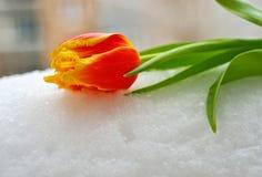 在雪的黄色红色郁金香 库存图片