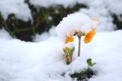 在雪的黄色花 免版税库存照片
