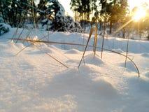 在雪的黄色草 免版税库存照片