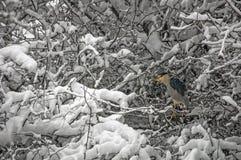 在雪的黑被加冠的夜鹭属 库存照片