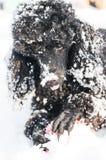 在雪的黑长卷毛狗与红色球 图库摄影