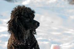 在雪的黑长卷毛狗与红色球 库存图片