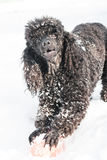 在雪的黑长卷毛狗与红色球 免版税图库摄影
