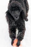 在雪的黑长卷毛狗与红色球 免版税库存照片