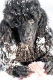 在雪的黑长卷毛狗与红色球 库存照片