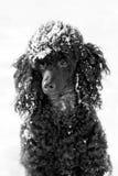 在雪的黑长卷毛狗 免版税库存图片