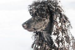 在雪的黑长卷毛狗 库存照片