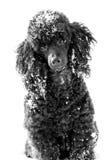 在雪的黑长卷毛狗 免版税库存照片