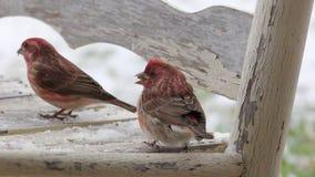 在雪的紫雀 库存图片