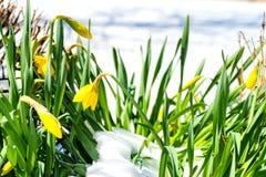 在雪的黄水仙 免版税库存照片