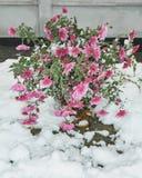 在雪的Chrysanths 免版税库存图片