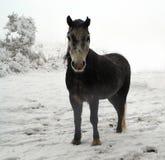 在雪的Dartmoor小马 免版税库存图片