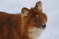 在雪的Dhole 免版税图库摄影