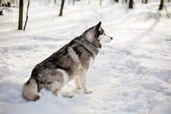 在雪的Huski 免版税库存照片