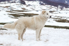 在雪的Maremma护羊狗 免版税库存照片