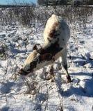 在雪的Pineywoods牛 免版税库存图片