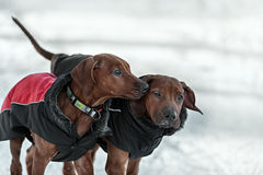 在雪的Ridgebacks 免版税图库摄影