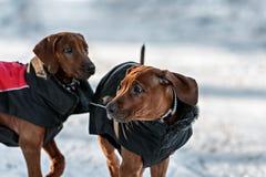 在雪的Ridgebacks 图库摄影