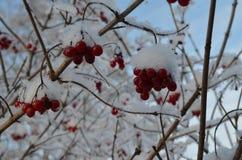 在雪的Ruwan 免版税库存图片