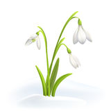 在雪的Snowdrops或Galanthus nivalis在白色背景 春天传染媒介例证 与花的向量背景 免版税图库摄影
