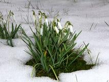 在雪的Snowdrops 图库摄影
