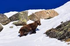 在雪的Steinbock在盛大Paradiso公园,意大利 免版税图库摄影