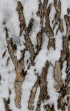 在雪盖的一棵老树的吠声 免版税图库摄影