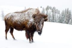在雪盖的北美野牛,黄石国家公园 库存照片
