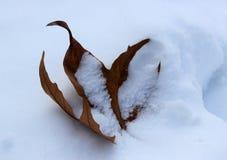 在雪盖的叶子 免版税库存图片