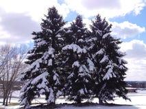 在雪盖的常青树 免版税库存照片