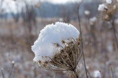 在雪盖的干大草原植物 库存图片