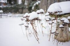在雪盖的干植物 库存照片
