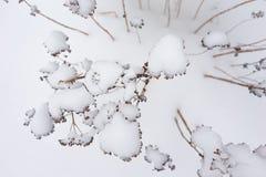 在雪盖的干植物 免版税库存图片