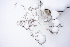 在雪盖的干植物 免版税图库摄影