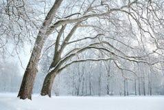 在雪盖的悬铃树树丛 库存图片